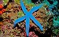 Blue Seastar (Linckia laevigata) (8476636602).jpg