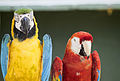 Blue and Gold Macaw and Crimson Macaw.jpg