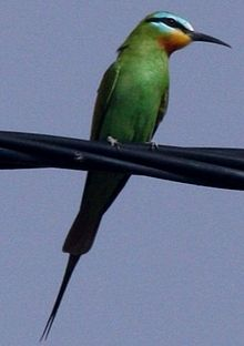 Blue cheeked bee eater.jpg