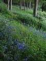 Bluebells, Foredown Plantation - geograph.org.uk - 1301971.jpg