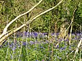 Bluebells in Whichford Wood - geograph.org.uk - 450325.jpg