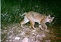 Bobcat (9098579648).jpg