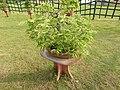 Bonsai tree-1-eco park-kolkata-India.jpg