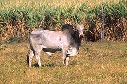 Zebu (Bos  primigenius indicus)