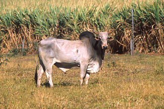 Dewlap - A zebu with a large dewlap.