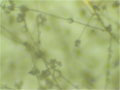 Botrytis conidiophores 16X.png