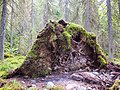Bottom of fallen tree.jpg