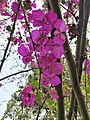 Bougainvillea flower and Tree.jpg