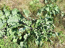 Wild Cabbage plants