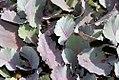 Brassica oleracea var 0zz.jpg