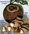 Brazil nut Seed Tegmen testa.jpg