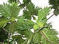 Breadfruit - കടപ്ലാവ്-2.JPG