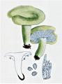Bresadola - Lactarius blennius.png