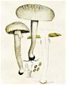 Bresadola - Pholiota dura.png