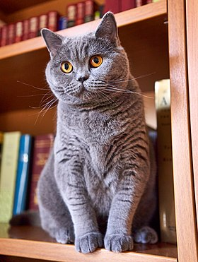 Un british shorthair bleu