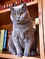 British Shorthair. Female. 18 months old.jpg