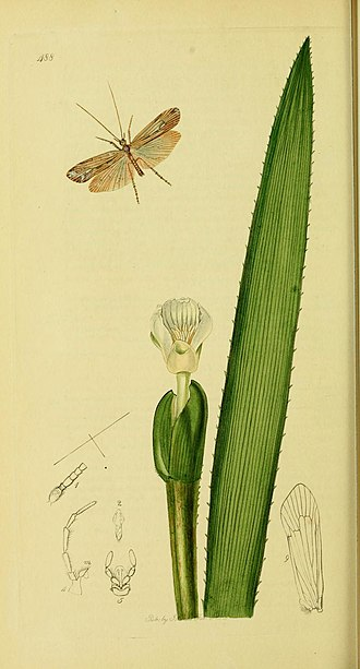 "Caddisfly - ""Limnephilus elegans the Elegant Grannom"", from British Entomology by John Curtis, c. 1840"