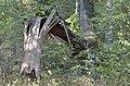 Broken tree 02.jpg