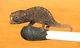 Juvenile of Brookesia micra on the head of a match