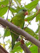 A green parrot with a light green underside and an orange mark under the jaw