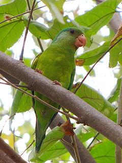 Orange-chinned parakeet species of bird