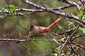 Brown-capped Tit-Spinetail (Leptasthenura fuliginiceps) (8077613879).jpg