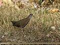 Brown Crake (Amaurornis akool) (45839295384).jpg