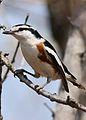 Brubru, Nilaus afer, at Pilanesberg National Park, Northwest Province, South Africa (29688540956).jpg