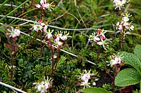 Bryanthus gmelinii (200807) .jpg