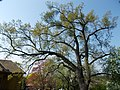 Buda Arboreta. Upper garden. Pedunculate oak (Quercus robur). - Budapest District XI.JPG