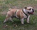Bulldog adult male.jpg