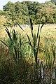 Bulrush in the pond - geograph.org.uk - 1498424.jpg