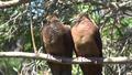 Burung Uncal Kouran.png