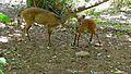 Bushbucks (Tragelaphus scriptus) female and young (6017312458).jpg