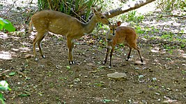 Bushbucks (Tragelaphus scriptus) female and young (6017312458).jpg