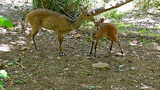 Harnessed bushbuck - Female and young