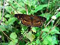 Butterfly hidden between grass - Caracas, Venezuela (2).jpg