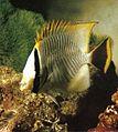 Butterflyfish Seychelles.jpg
