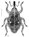 COLE Curculionidae Omoeacallus ovatellus.png