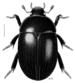 COLE Hydrophilidae Tormissus guanicola.png