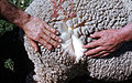 CSIRO ScienceImage 230 Wool Classification in Citu.jpg
