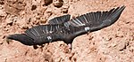 Californian Condor 50 MC.jpg