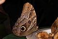 Caligo eurilochus - Schmetterlingshaus Wien 2.jpg