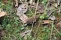Camaleón -Phrynosoma sp - panoramio.jpg
