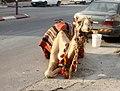 Camel in Bethlehem.jpg