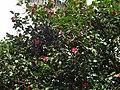 Camellia japonica of Tamsui Wu-ji Tian-yuan Temple 20160306.jpg