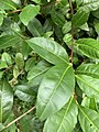 Camellia sinensis in the Morris Arboretum 01.jpg