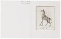 Camelopardalis giraffa - 1970 - Print - Iconographia Zoologica - Special Collections University of Amsterdam - UBA01 IZ21600124.tif