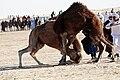 Camels fight Sahara Festival.jpg