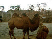 Camelus ferus prague zoo.jpg